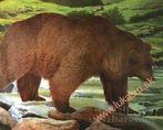 Lőlap, medve